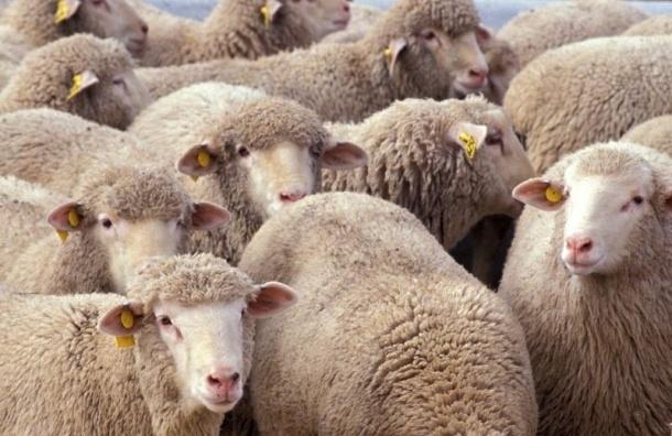 Полиция пытается найти владельца убитых овец в Ленобласти