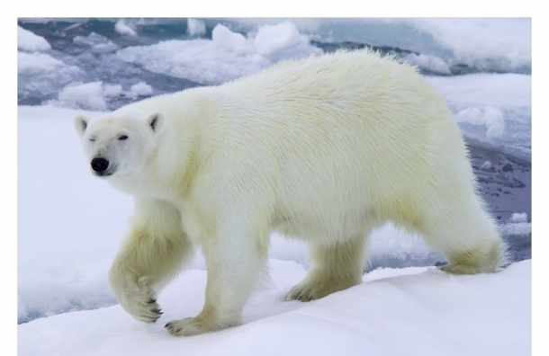 МВД возбудило уголовное дело по факту подрыва белой медведицы