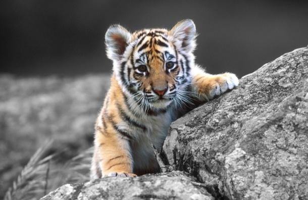 Голодный тигр вышел к людям в Приморье
