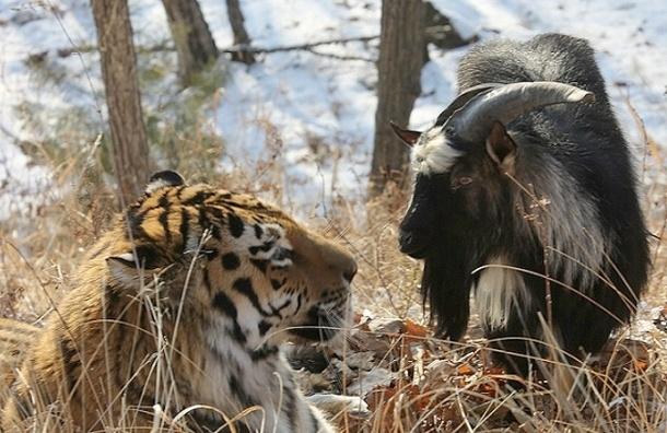 Южная Корея снимет фильм о дружбе козла Тимура и тигра Амура