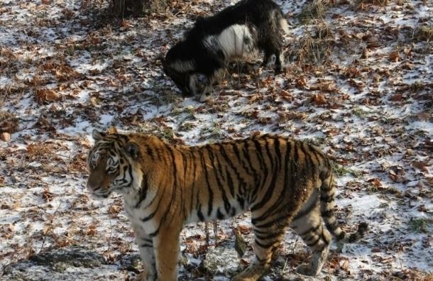 Козлу Тимуру и тигру Амуру готовят подарки на Новый год