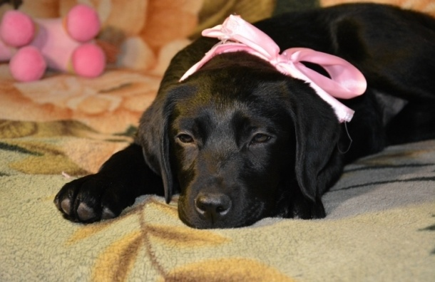 Путин подарил девочке из Курска щенка лабрадора