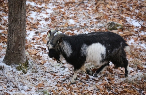 Козел Тимур выгнал тигра Амура из убежища из-за снегопада