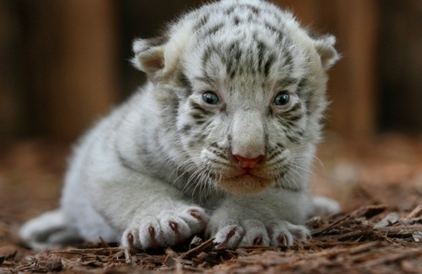 Третий тигренок погиб в ялтинском зоопарке