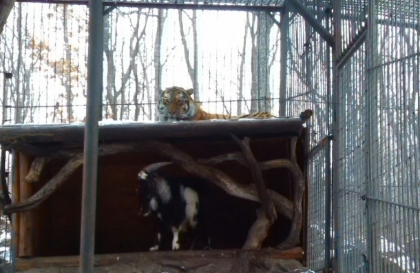Козел Тимур учится охоте у своего друга-тигра