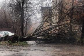 Ветер повалил в Петербурге 84 дерева за минувшие выходные