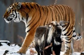 Козлу Тимуру все же разрешили ночевать в вольере тигра Амура