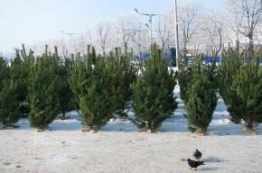 Цена новогодних елей в Петербурге достигла полутора-двух тысяч рублей за дерево