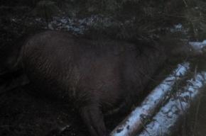 Неизвестный стрелок застрелил спортивную лошадь на Новоприозерском шоссе