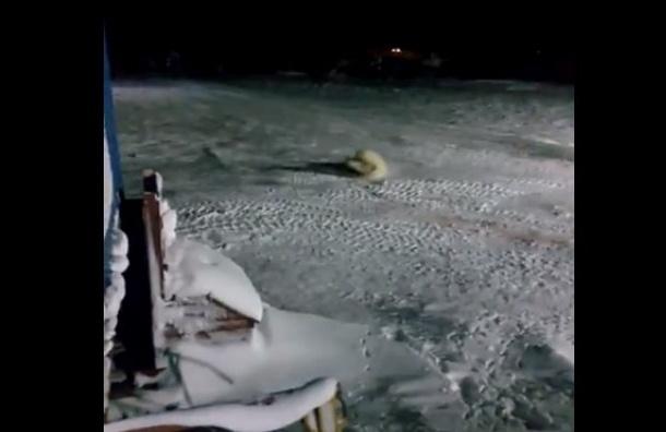 Прокуратура заинтересовалась видео, где белая медведица съела взрывпакет