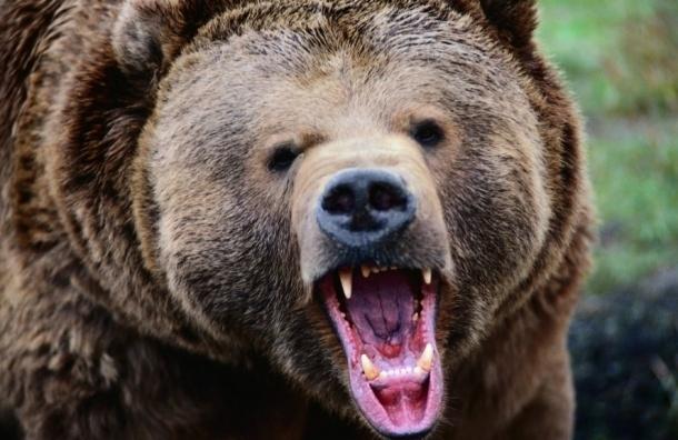 Медведь растерзал мужчину, состоявшего на учете у психиатра, в Ленобласти