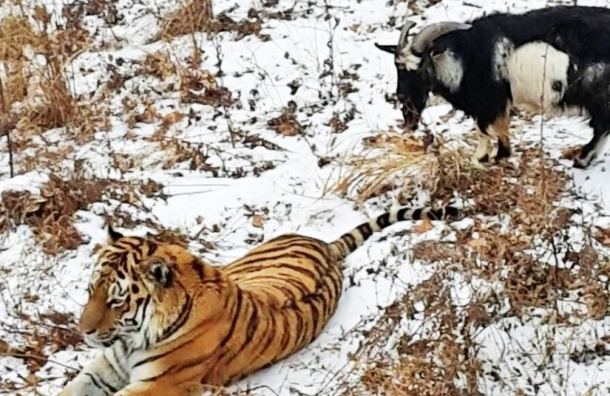 Амура и Тимура разлучили для безопасности козла