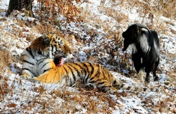 Туманное прошлое козла Тимура обнародовал директор Сафари-парка