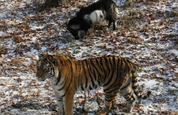 Тигру Амуру предсказали смерть от панкреатита