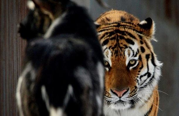 Тигр Амур задал жару козлу Тимуру за его поведение