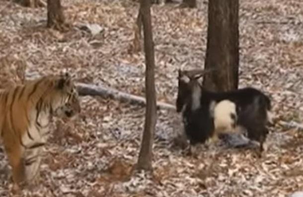Козел Тимур учится у тигра Амура лазить по деревьям