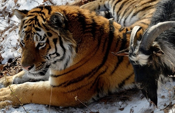 Тигр Амур и козел Тимур встретились после долгой разлуки