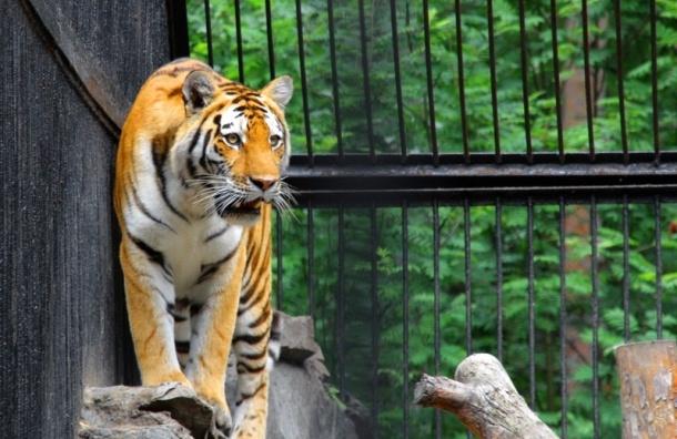 Тигра ловили на трассе возле Воронежа
