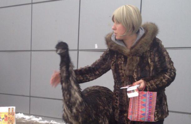 Циркового страуса увидели петербуржцы на улицах Красного Села