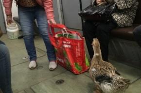 Утку-попрошайку увидели в метро Петербурга
