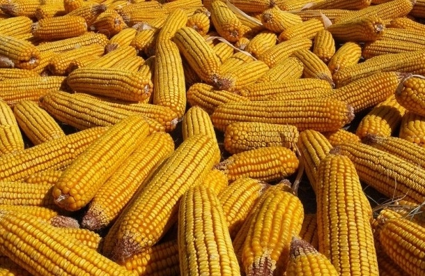 Ввоз сои и кукурузы из США в Россию запрещают с 15 февраля