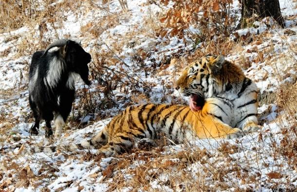 Отношениями козла Тимура и тигра Амура занялась прокуратура