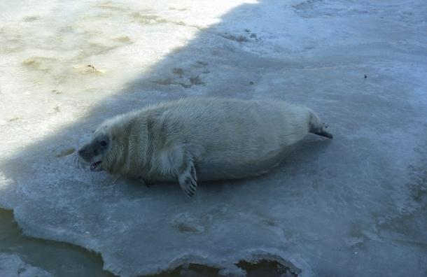 Порядка ста тюленей приплыли на льдине в порт Усть-Луга