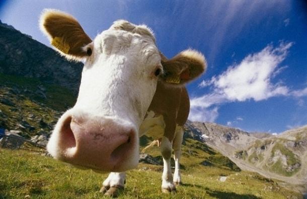 Корова на взлетной полосе остановила вылет самолета из Пулково