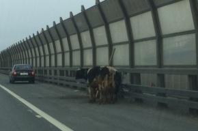 Три бычка вышли прогуляться на КАД