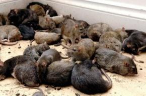 Покусанный крысами труп обнаружили на Сортировке