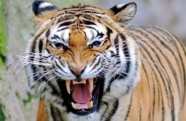 Тигр в зоопарке Барнаула схватил за ноги ребенка