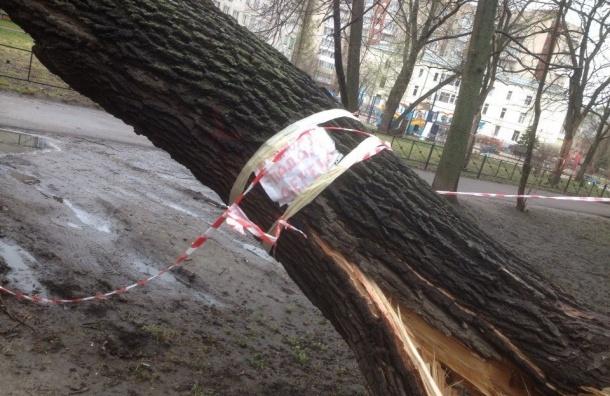 Дворник спас жителей дома на Ново-Александровской от дерева