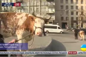 Олег Ляшко поцеловал корову на митинге у здания правительства Украины