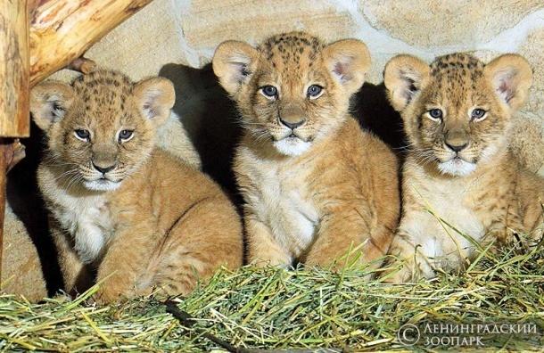 Львенка из Ленинградского зоопарка назвали Исаакием