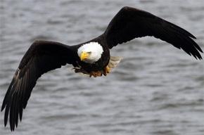 Белоголовый орлан сбил самолет на Аляске