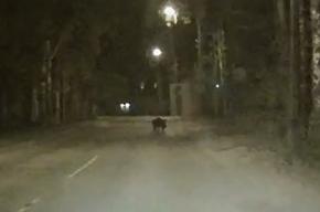 Дикого кабана увидели на дороге в Павловске