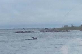Очевидцы увидели лося, переплывающего Неву, в районе Шлиссельбурга
