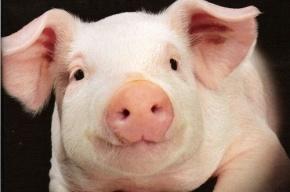 Голову свиньи подбросили неизвестные к приемной Ангелы Меркель