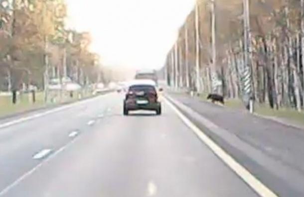 Кабан врезался в машину на Мурманском шоссе
