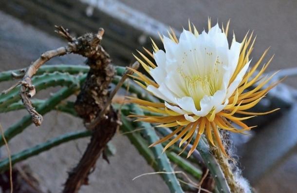 Кактус царица ночи вновь цветет в Ботаническом саду