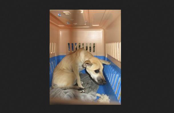 Пса-нарушителя из Вьетнама задержали в Пулково