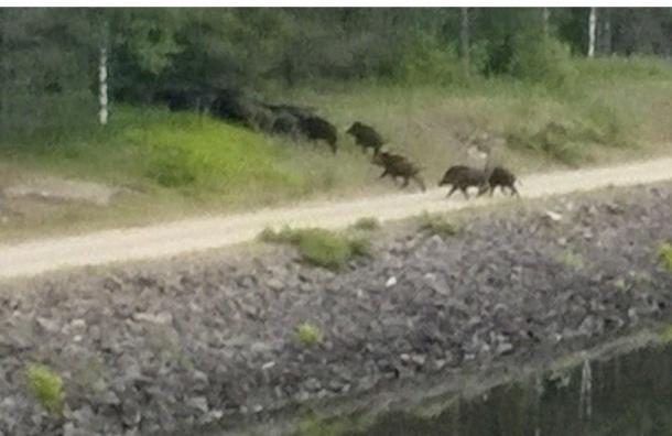 Кабаны бегут из Ленобласти в Финляндию