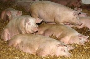 Вспышка африканской чумы свиней зафиксирована в Нижегородской области