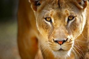 Полиция нашла льва в автомобиле нижегородца