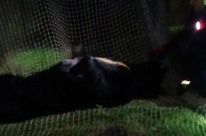 Видео поимки сбежавшего из питомника гималайского медведя опубликовали в Сети