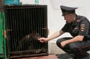 Медвежонок в ошейнике пришел в гости к жительнице Кемерово