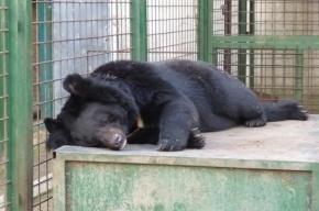 Гималайский медведь, сбежавший из центра «Велес», хотел вернуться