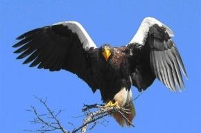 Редкий белоплечий орлан улетает из Петербурга в Хакасию
