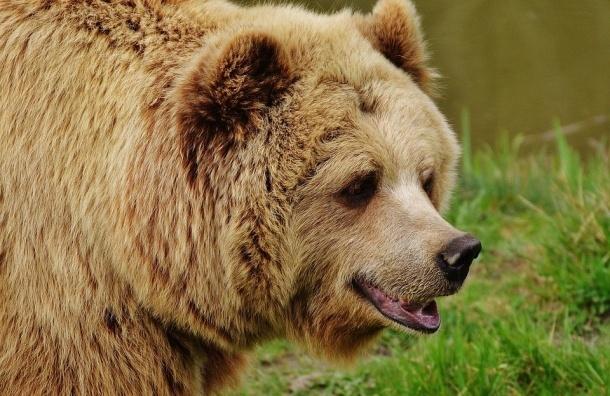 «Скорая помощь» столкнулась с медведем в Финляндии