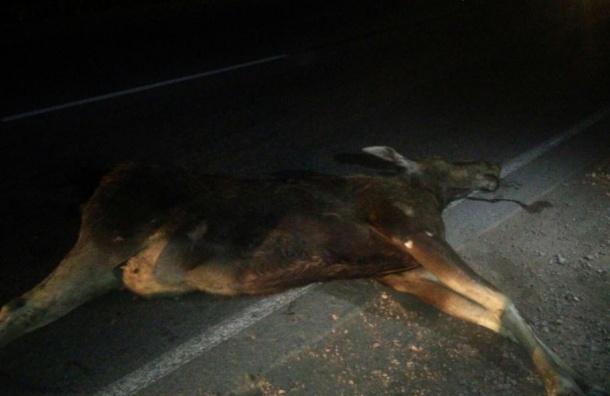Лосиха попала под машину на Дороге Жизни